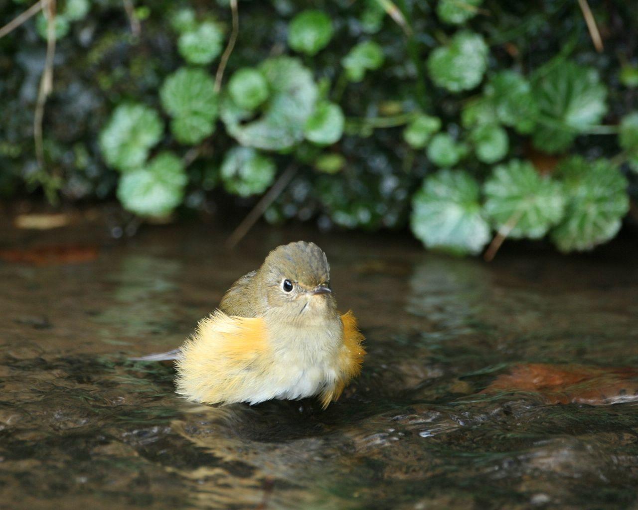 ルリビタキ嬢の水浴び(可愛い野鳥の水浴びの壁紙)_f0105570_215693.jpg