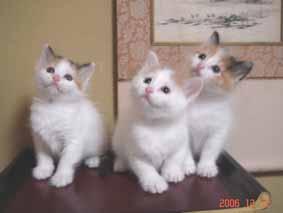 ターキッシュバン子猫5週目_e0033609_1622520.jpg