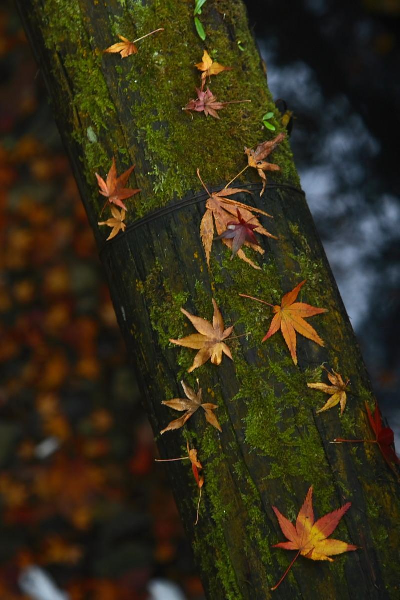 京都 嵯峨野 <嵐山> 紅葉 2_f0021869_9294080.jpg
