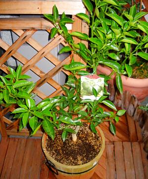 樽型の植木鉢に植えられた緑鮮やかな植物。小さな緑の葉っぱが元気良く葉を広げています。
