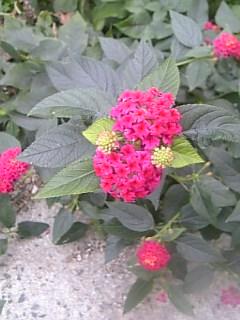 我が家の「ランタナ」の花♪_f0099147_1048404.jpg