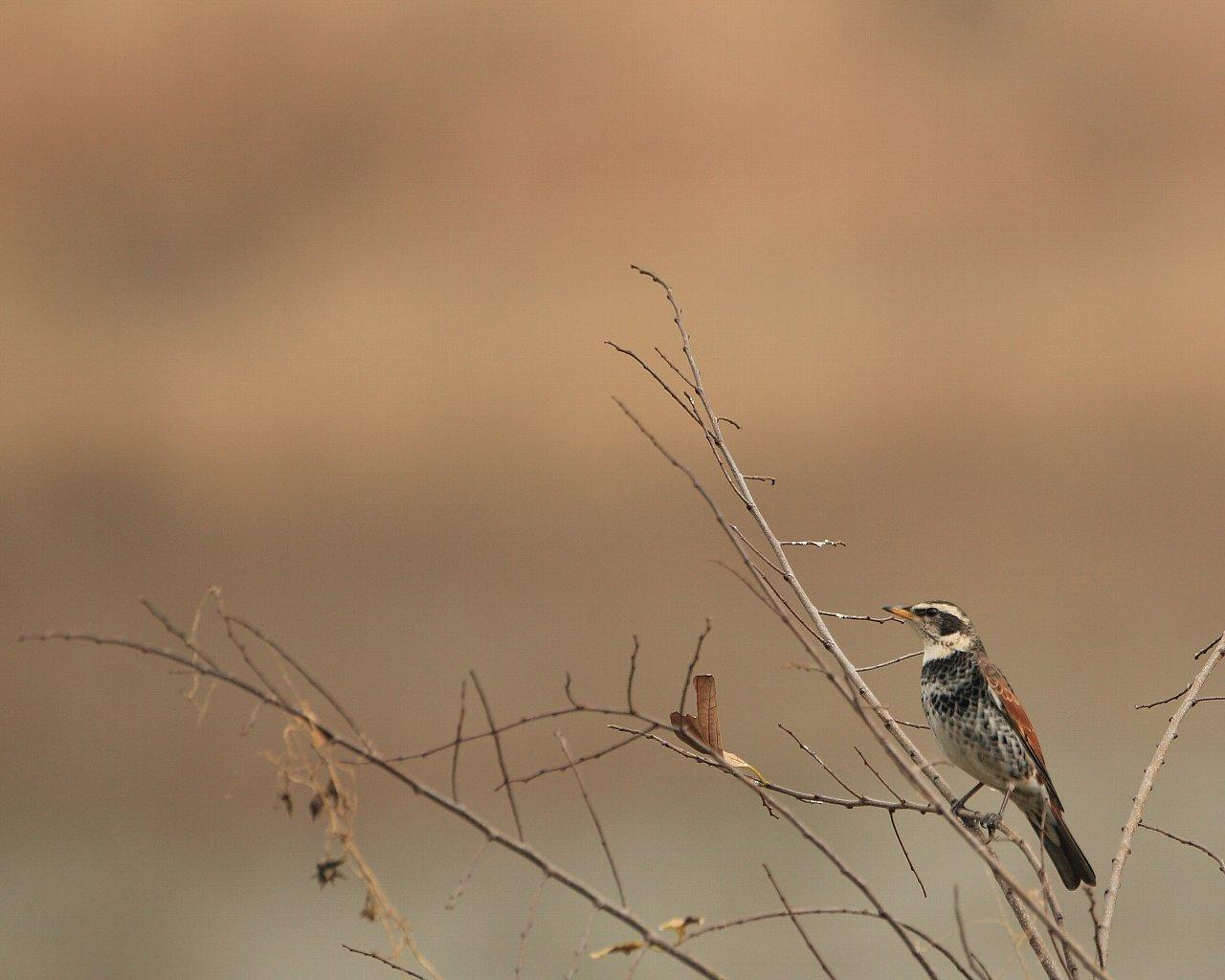 自宅そばのツグミ(冬の野鳥の壁紙)_f0105570_21381244.jpg