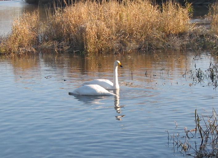美しく、ひゃうきんなる者、それは白鳥。_d0001843_1021551.jpg