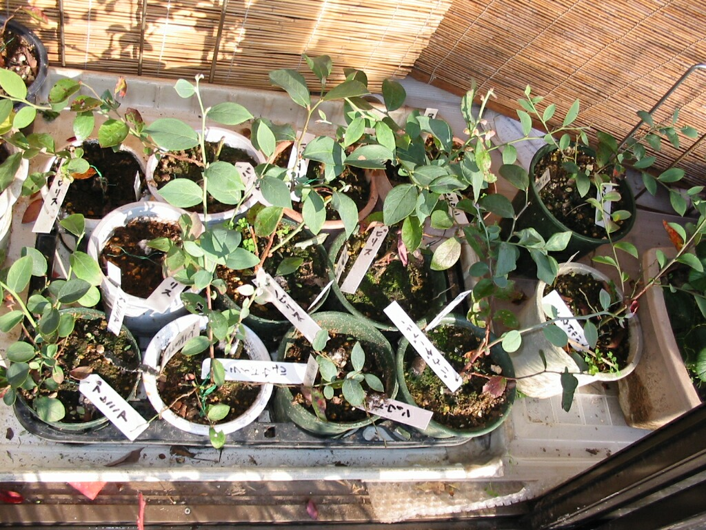 休眠挿し苗の室内栽培(2)_f0018078_9361040.jpg