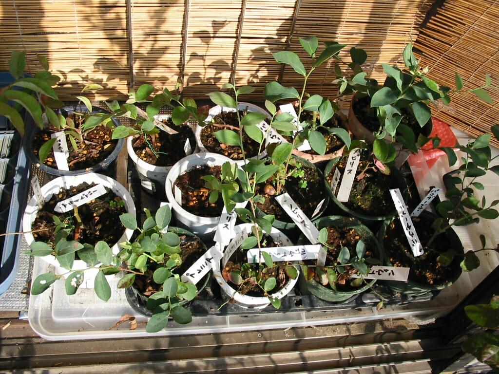 休眠挿し苗の室内栽培(2)_f0018078_937474.jpg