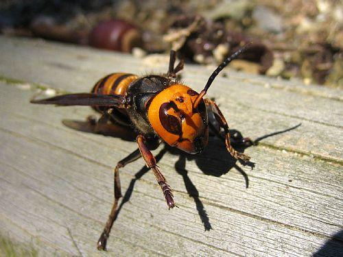 こちらは昨年の11月に撮ったオオスズメバチ。片翅を失い、飛ぶことも出来な... 原色日本昆虫図鑑