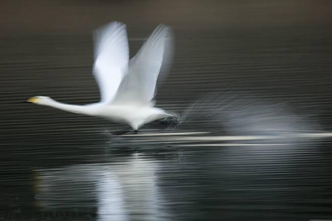 白鳥_b0074098_1933168.jpg