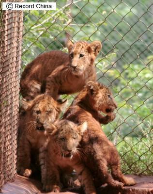 ライオンとトラの子ライガー誕生_b0052564_14465679.jpg