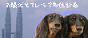 *お膝犬Ⅱとマレーシア移住計画*
