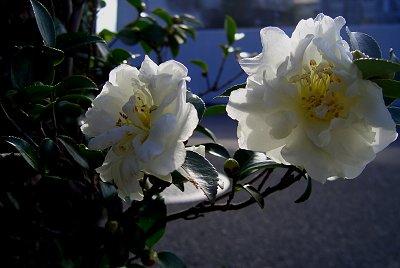 初冬の花々_d0030373_11462359.jpg