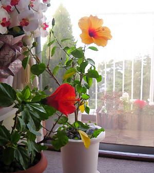 黄色と赤のハイビスカス。それぞれ別の鉢に植わっているもののようです。窓の外が白っぽいのは雪のせいでしょうか。