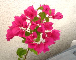 小さな花びらが集まったブーゲンビリア。濃いピンク色をしています。雪のチラつく中元気に咲いている様子が健気ですね。