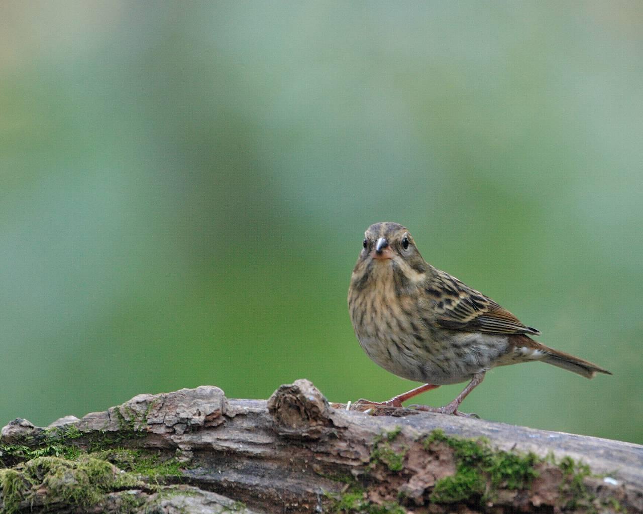 今年最後の関東での鳥見は縁起の良いクロジ_f0105570_13511243.jpg