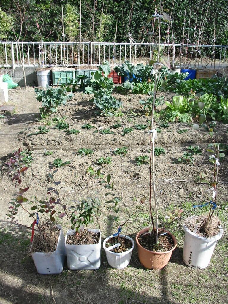 まだ葉が緑の品種_f0018078_12453624.jpg