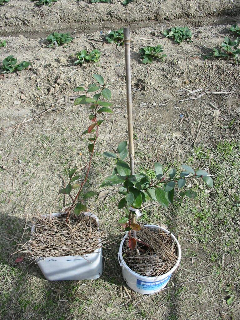 まだ葉が緑の品種_f0018078_1246173.jpg