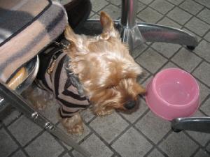 ピンクのボウルにミルクが入っていた模様。すっかり飲み干して満足げな様子のわんこ。茶色いセーターが可愛いです。