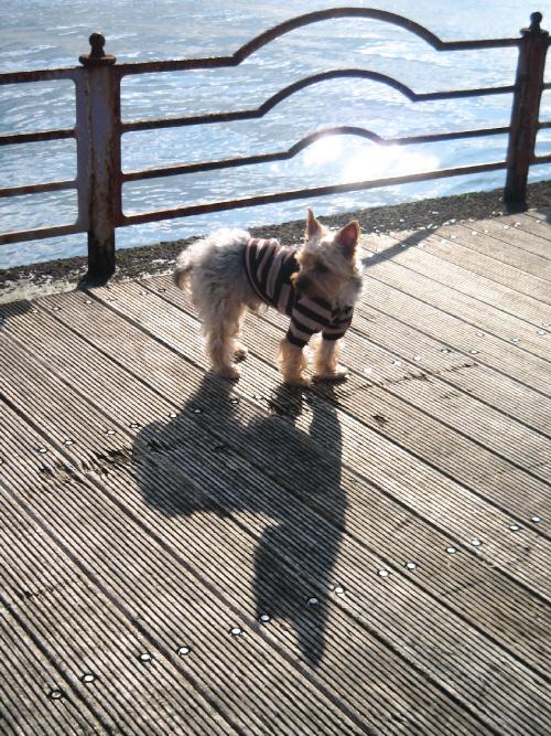 太陽が海面に反射して光輝くのをバックに立ち止まり、首だけ横を向けて後ろを振り返るわんこ。茶色い縞模様のセーターを着ています。手前に延びた影が休日の午後らしい雰囲気を出しています。