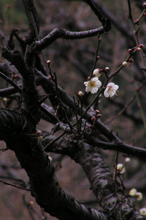 梅林復活~古木に宿る