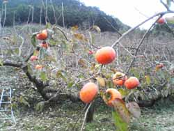 農薬に頼らない柿生産の難しさ。_f0018099_141038.jpg