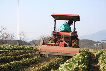 休耕地でちこり(チコリ)作り。収穫の季節。_d0063218_15415411.jpg