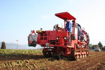 休耕地でちこり(チコリ)作り。収穫の季節。_d0063218_15435714.jpg