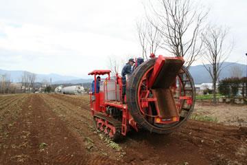 休耕地でちこり(チコリ)作り。収穫の季節。_d0063218_1543861.jpg