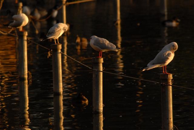 鴨がねぎと鍋背負って来る_f0050534_1429193.jpg