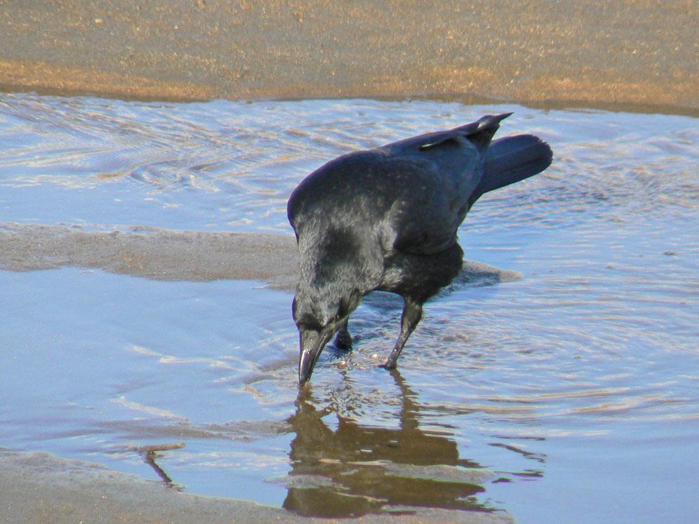 川で餌を捕る ハシボソガラス_e0088233_2320417.jpg