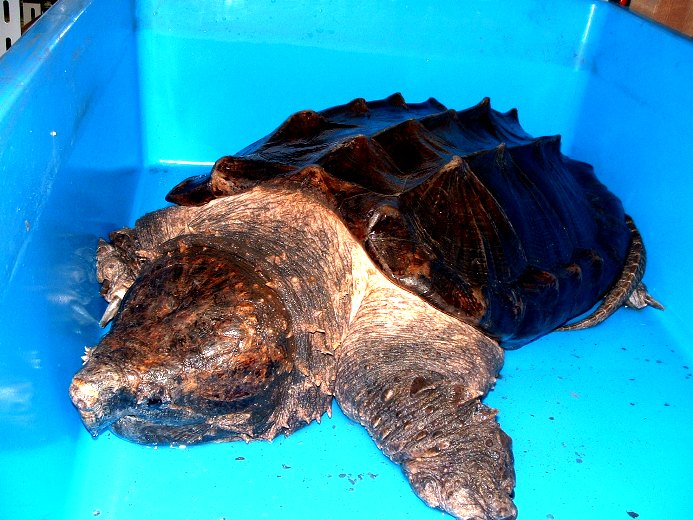 ワニガメの画像 p1_31