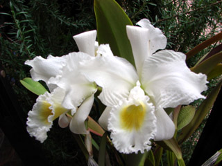 C.trianaei fma pseudo-alba 'Adoru 'Ⅳ\' _d0007501_12221357.jpg