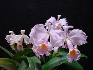 C. schroederae fma.concolor_d0007501_1849921.jpg