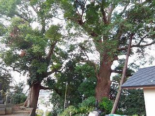 願成寺のクスノキ_c0087349_5252488.jpg