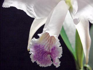 C.lueddemaniana fma.coerulea_d0007501_1941152.jpg