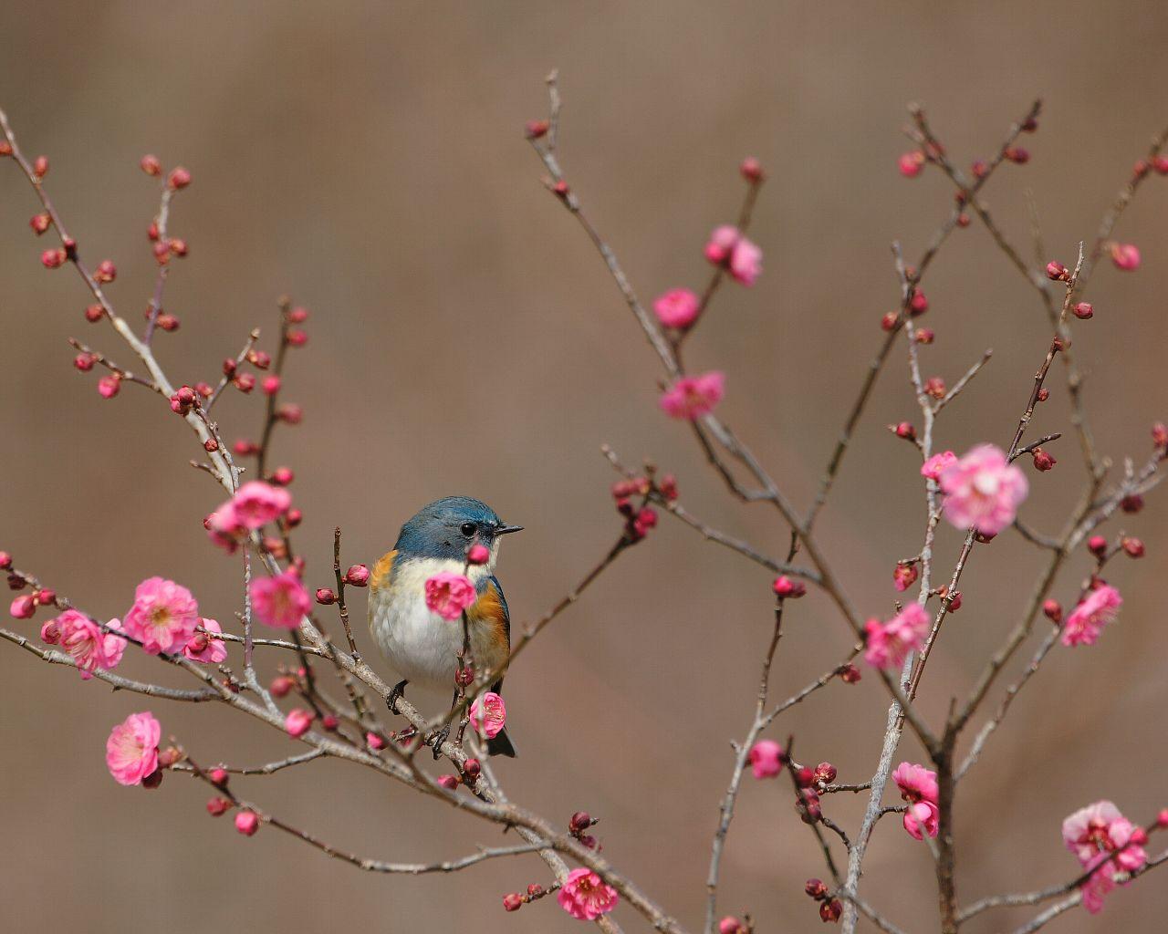 紅梅とルリビタキ(早春らしい野鳥と紅梅の壁紙)_f0105570_2305757.jpg