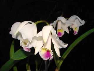 C.chocoensis semi-alba_d0007501_1853371.jpg