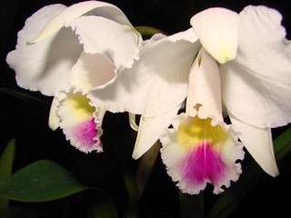 C.chocoensis semi-alba_d0007501_1855945.jpg