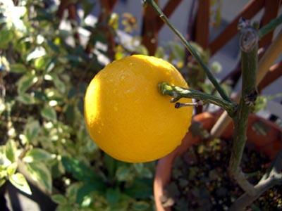愛しのレモン。_a0026127_2115537.jpg