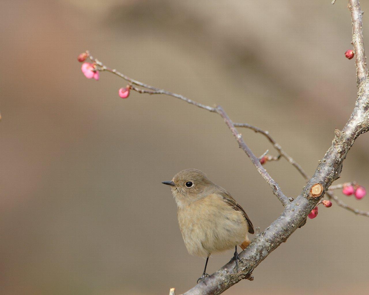 お嬢と紅梅(早春の可愛い野鳥の壁紙)_f0105570_2235522.jpg