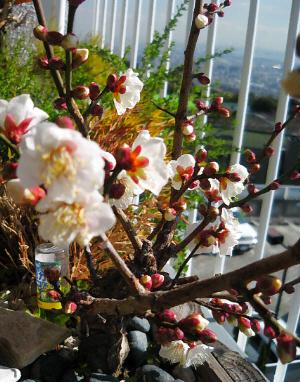 ベランダに植えられている梅ノ木。7割の花が咲き誇り、残りのつぼみもすぐに開きそうな風情です。真っ白な花びらが春を感じさせています。