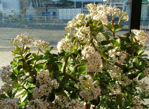 金のなる木が咲きました♪_b0083389_11462974.jpg