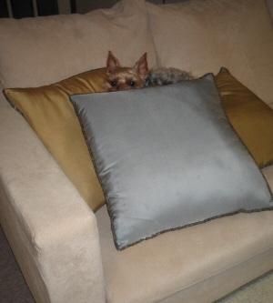少しカメラを引いてソファー全体も写るような距離から撮った一枚。やはりクッションの中から顔だけ出して耳を立て目線はしっかりこちらへよこしています。ソファーもクッションも結構大きめ。小さなわんこがここを独り占め?
