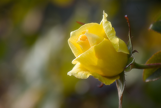 rose yellow color_a0034902_12293994.jpg