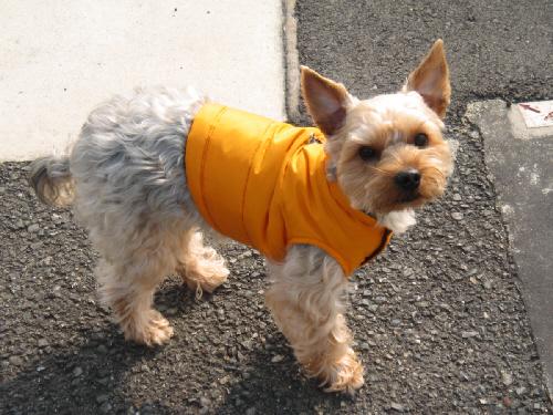 黄色いダウンジャケットを着込んだわんこ。立ち止まってこちらを見上げている、ちょっと偉そうな顔のアップです。