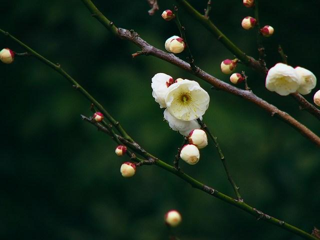 梅の花_e0063851_20205044.jpg