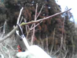 柿の冬場の仕事。_f0018099_19412769.jpg