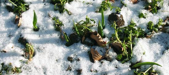 白い雪と緑の芽_b0007805_11391046.jpg