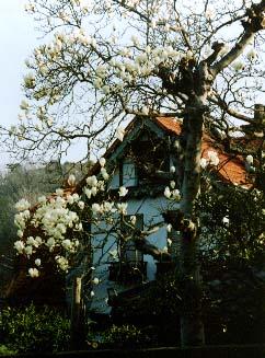 つぼみが極端に少なく、元気のない旧小泉邸のハクモクレン_c0014967_9534784.jpg