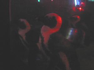 手洗いに立ったら、一緒にくっついて動くペンギン。水から上がって3匹ともこちらを眺めています。餌が欲しいのかな?