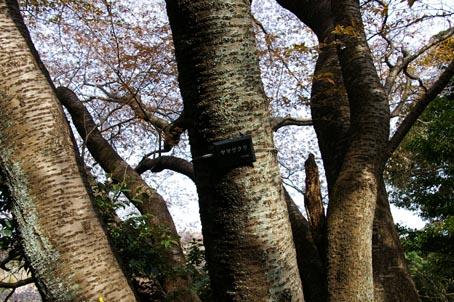 北鎌倉ウォッチング―探訪!幻の大蛇ザクラ―(07・3・31)_c0014967_10591564.jpg