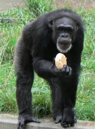 チンパンジーが超高齢出産_b0052564_1015866.jpg